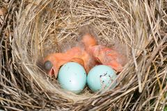 Baby birds Royalty Free Stock Photos