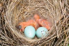 Baby birds. Newborn hungry baby birds in nest on raspberry bush Royalty Free Stock Photos