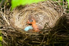 Baby birds. Newborn hungry baby birds in nest on raspberry bush Royalty Free Stock Photo