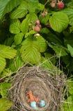 Baby birds. Newborn hungry baby birds in nest on raspberry bush Royalty Free Stock Image