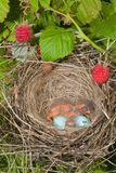 Baby birds. Newborn hungry baby birds in nest on raspberry bush Royalty Free Stock Photography