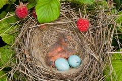 Baby birds. Newborn hungry baby birds in nest on raspberry bush Royalty Free Stock Images