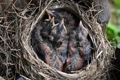 Baby Birds At One Week Old Stock Photography