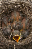 Baby birds open mouth. Baby Robin birds in a nest with one mouth open Royalty Free Stock Photo