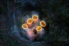 Baby birds open mouths Stock Photos