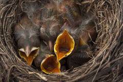 Baby birds open mouths. Baby Robin birds opening  their mouths for feeding Royalty Free Stock Photography