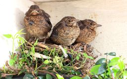 Baby birds ready to fly from nest Royalty Free Stock Photo