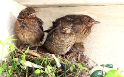 Baby birds ready to fly from nest Stock Photo