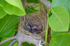 Baby birds sleep in nest Royalty Free Stock Photo