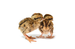 Baby birds Stock Images