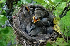 Baby birds in their nest. Angry baby birds (starlings) couple of days before flying away from the nest stock photos