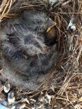 Baby Birds. Three newly hatched baby birds snuggled in nest Stock Photography