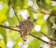 Baby birds Stock Photos