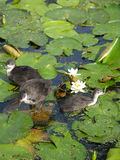 Baby birds on water. Baby birds playing on top lotus plant leafs royalty free stock images