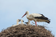 Baby birds of white storks in a nest in the summer Royalty Free Stock Image