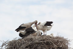 Baby birds of white storks in a nest in the summer Royalty Free Stock Photography
