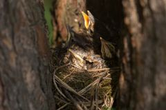 Baby birds, chiks in a nest on tree in forest close-up. Baby birds with yellow beaks in the nest close-up in sunlight royalty free stock photo