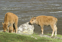 Baby bison. Two bison calves by water in Yellowstone National Park with one baby rubbing its head on rock Stock Photos