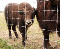 Baby bison Royalty Free Stock Photo