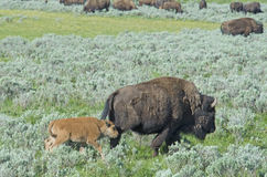A baby Bison bounces around a field. A baby Bison plays close to his mom Royalty Free Stock Photos