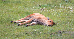 Baby Bison Buffalo Calf sleeping in the grass in the Lamar Valley in Yellowstone National Park in Wyoming Stock Photos