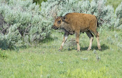 A baby Bison calf follows after mom. Royalty Free Stock Photos
