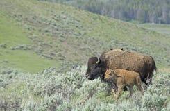 Baby-Bison, der mit Mutter in Yellowstone Nationalpark bleibt Stockfotos