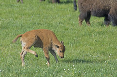 Baby Bison follows mom in Yellowstone. Stock Photos