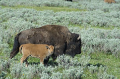 Baby Bison follows mom in Yellowstone. Royalty Free Stock Photography