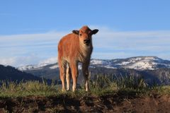 Free Baby Bison In Yellowstone National Park Looks At The Viewer Stock Photos - 141111633