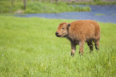 Baby bison Stock Photos