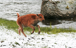 Baby Bison Prances In Spring Snow Royalty Free Stock Images