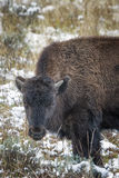 Baby Bison in the Snow Stock Photos