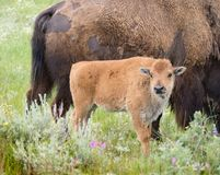 Free Baby Bison Standing Near Mother Royalty Free Stock Image - 100162426