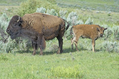 Baby Bison staying with mom in Yellowstone National Park. Stock Photography