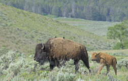 Baby Bison trailing behind mom in Yellowstone National Park. Stock Photos