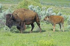 Baby Bison walking through green grass following mom. Royalty Free Stock Photos