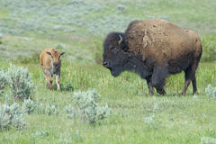 Baby Bison walking through green grass following mom. Stock Photos