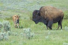 Baby Bison walking through green grass following mom. Stock Photos