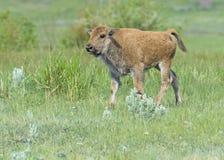 Baby Bison walking through green grass. Royalty Free Stock Image