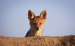 A baby black backed jackal peers over edge of its den. An alert baby black backed jackal pup stares over the edge of its den with blue sky background in Kenya Royalty Free Stock Photography