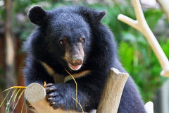 Baby black bear. A baby black bear climbs on a trunk stock images