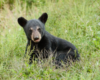Baby black bear Royalty Free Stock Photo