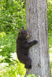 Baby black bear cub. Hanging on tree Stock Photo