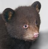 Baby Black Bear Grey Backgrd Stock Photo