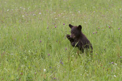 Baby Black Bear Playing in Wildflowers Stock Photo