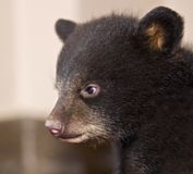Baby Black Bear Profile Stock Images