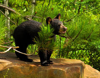 Baby Black Bear standing on a rock Royalty Free Stock Image