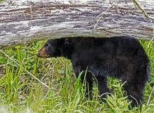 A baby Black Bear stands under a fallen log.. Cades Cove, a Black Bear walking through green grass stock photo
