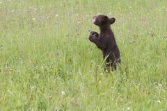 Baby Black Bear in Wildflowers Stock Image